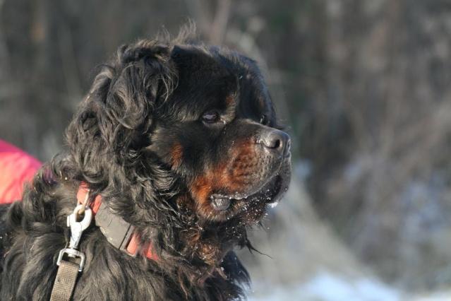 Sam Rottweiler poils longs (54)