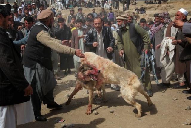 Combats de chiens en afghanistan for Dans jeannot et colin l auteur combat