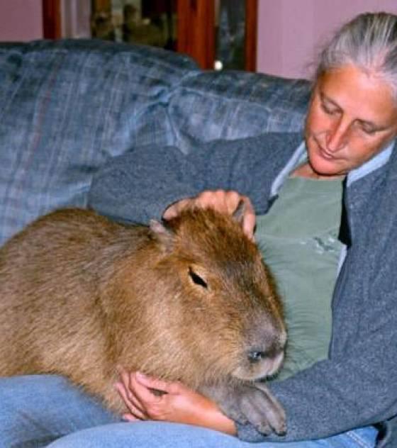 d couvrez le capybara le plus gros rongeur du monde. Black Bedroom Furniture Sets. Home Design Ideas