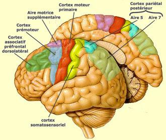 cerveau_zones_motrices