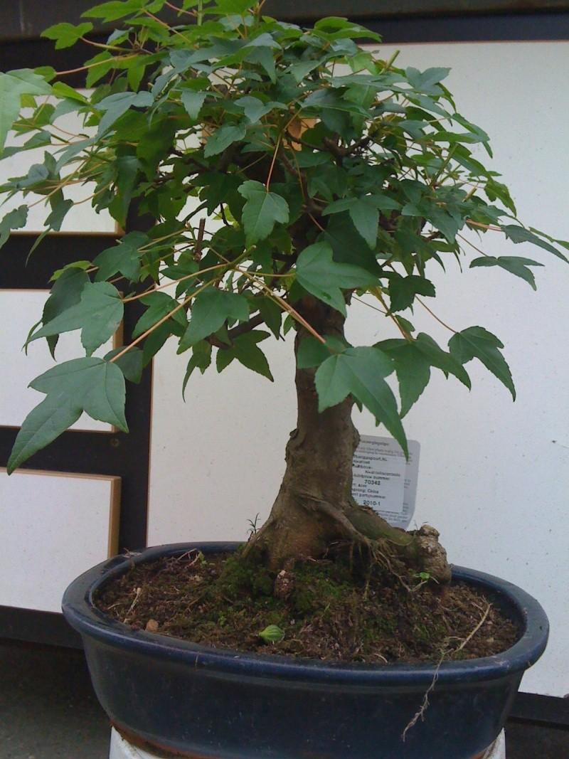 achat de 2 bonsai a jardiland identifier mon arbre forums parlons bonsai. Black Bedroom Furniture Sets. Home Design Ideas