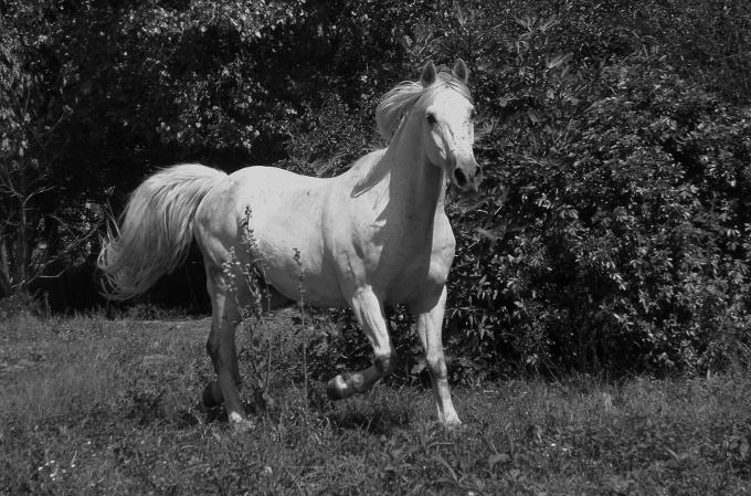 les chevaux dara et vigan en noir et blanc animaux. Black Bedroom Furniture Sets. Home Design Ideas