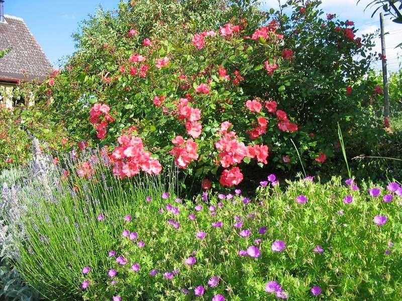 Aimez vous les roses - Rosier douceur normande ...
