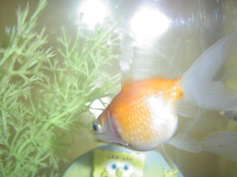 Donne 4 poissons rouges japonais 60 beauvais for Donne poisson