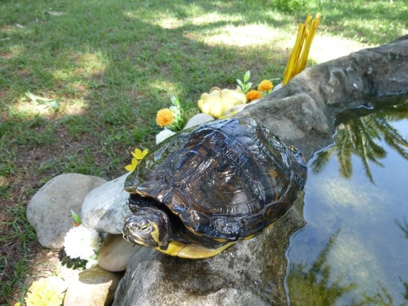 Aiuto da voi esperti tartaclubitalia for Laghetto termoformato per tartarughe