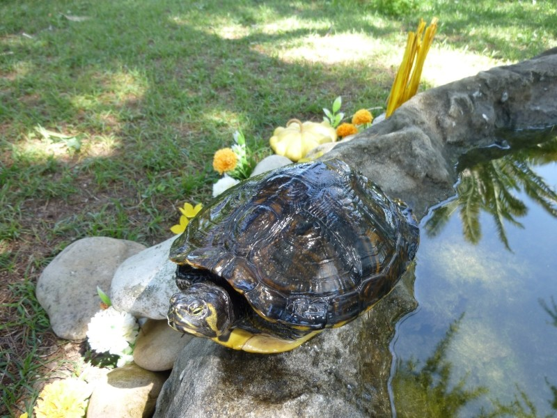 Aiuto da voi esperti tartaclubitalia for Laghetto tartarughe inverno