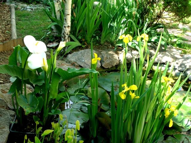 Zantedeschia aethiopica ou arum d 39 ethiopie for Plante de bassin