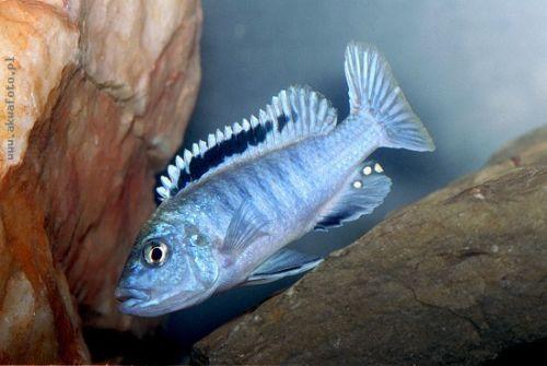 Melanochromis joanjohnsonae - Perle de Likoma