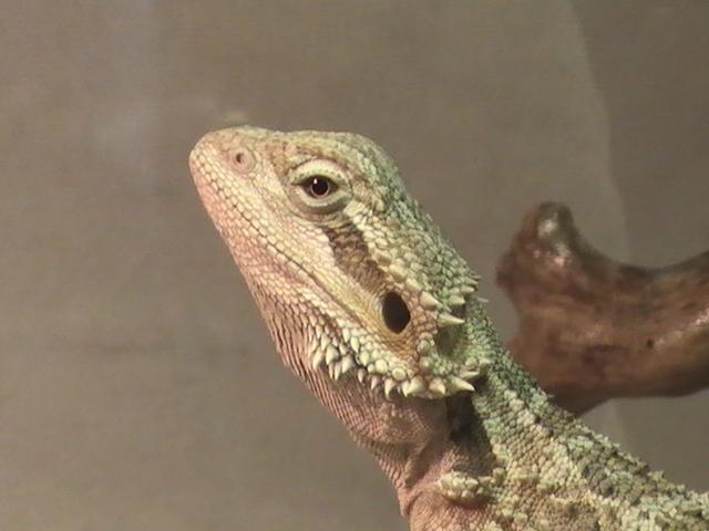 Le dragon barbu Pogona sp - Centre hospitalier