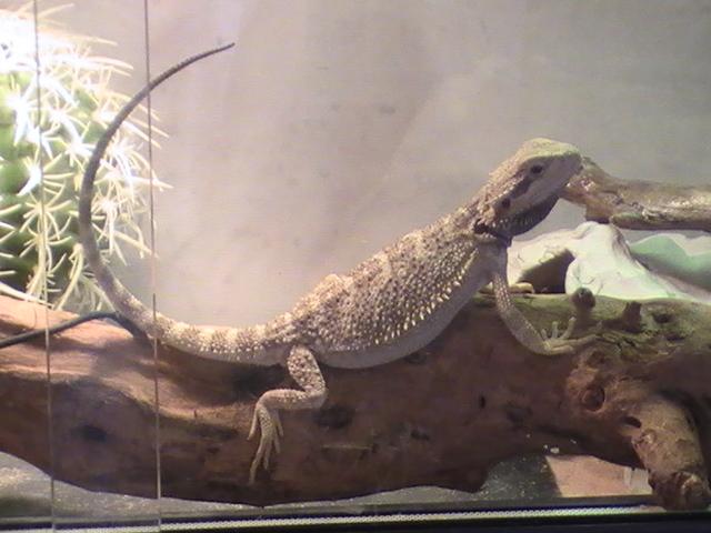 Fiche sur le dragon barbu, Pogona vitticeps