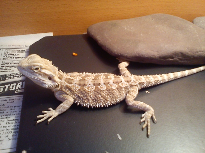 Your Bearded Dragon Is An Omnivore Meaning That He Needs A Balanced T Of Meat And Vegetable Matter Hatchling Will Eat Mostly Small Insects