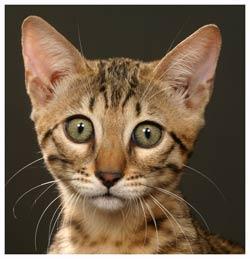 Liste des races de chats reconnues par le loof - Chat du bengal gratuit ...