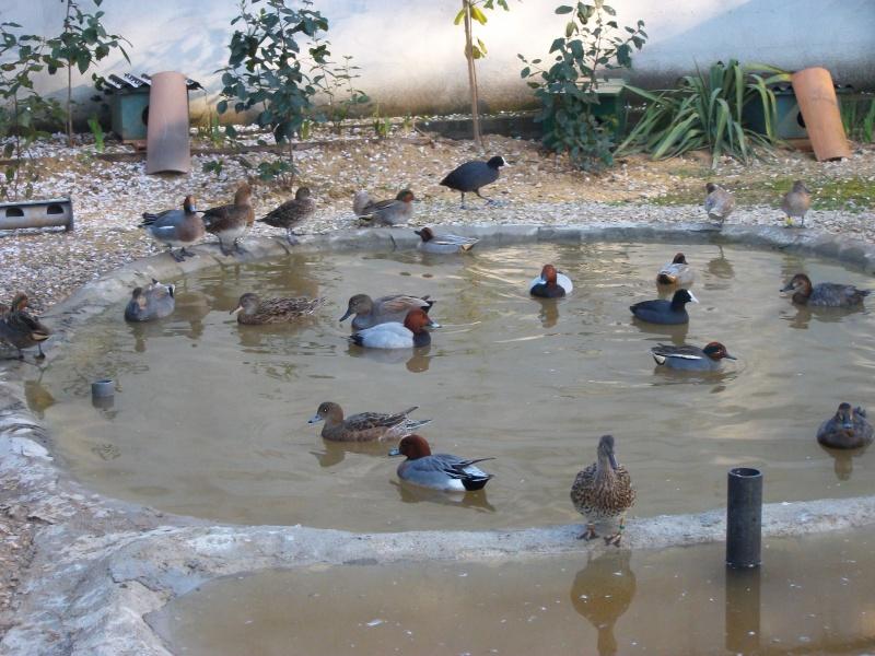 Mes parcs a canards page 3 - Bassin canard d ornement pau ...