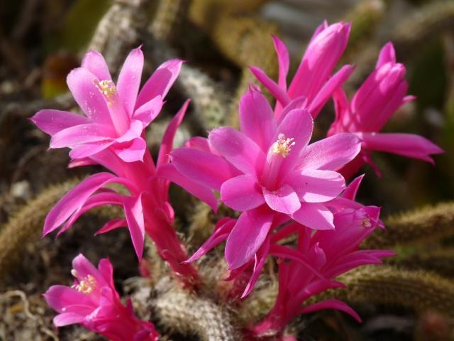 Epiphyllum et les schlumbergera for Plante succulente exterieur