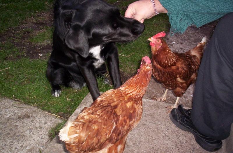 Cherche jeune poule pondeuse brune a proximit de montr al - Poule pondeuse a donner ...